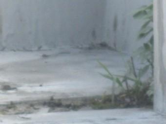 西宮市賃貸マンションコンクリート陸屋根劣化が原因で雑草が発生