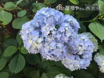 勝尾寺2018年6月紫陽花